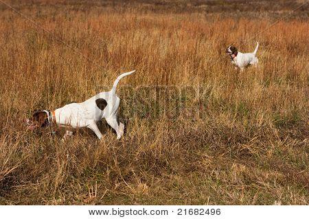 Pointing dog