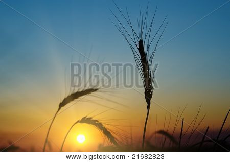 golden sunset over harvest field