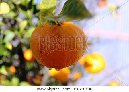 Mandarin with Dew