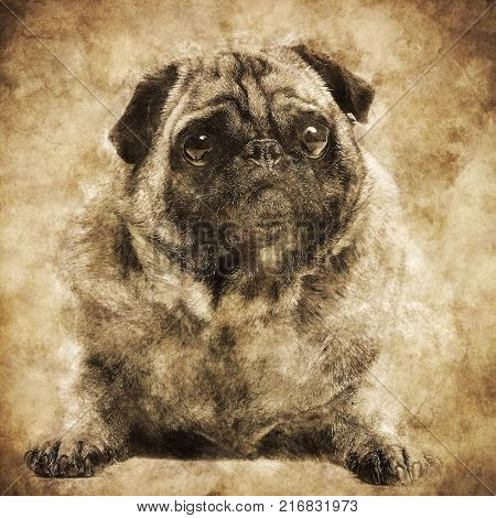 Cute fawn pug dog laying on the ground. Purebred dog. Vintage sepia shot concept.