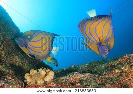 Bluering Angelfish tropical reef fish