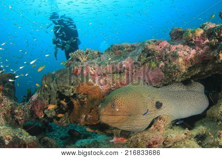 Giant Moray Eel and Scuba diver