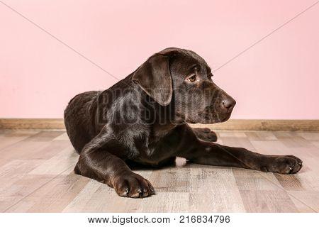 Chocolate labrador retriever on floor against color wall
