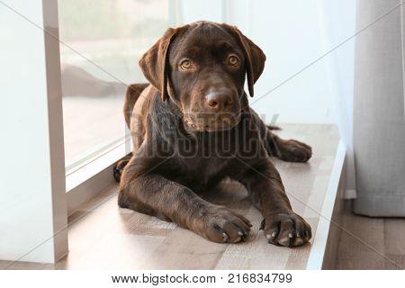 Chocolate labrador retriever near window at home