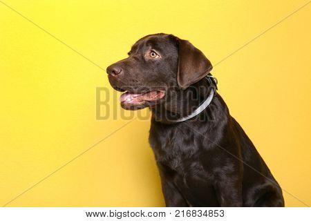 Chocolate labrador retriever on color background