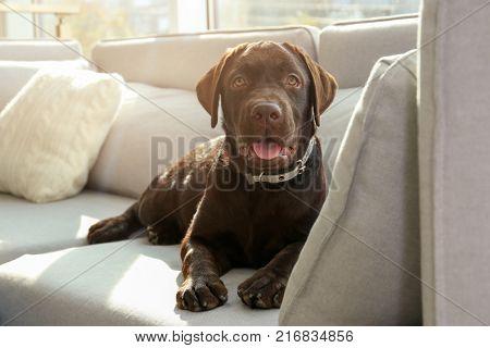 Chocolate labrador retriever on sofa at home