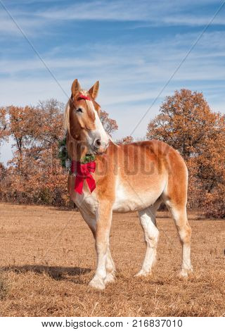 Handsome Belgian draft horse wearing a Christmas wreath and a bow in his mane, standing proud in a sunny winter pasture