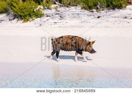 Pig at tropical beach on Exuma island Bahamas