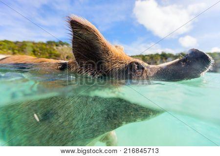 Swimming pig in a water at beach on Exuma island Bahamas
