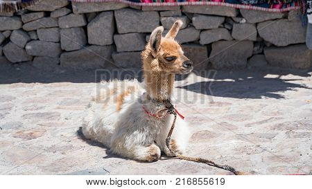 Peruvian baby alpaca in Andes Mountains Peru