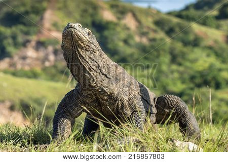 Portrait of the Komodo dragon ( Varanus komodoensis ) is the biggest living lizard in the world. On island Rinca. Indonesia.