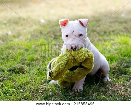 Six week old bull terrier puppy in the grass with a toy posing for a photo