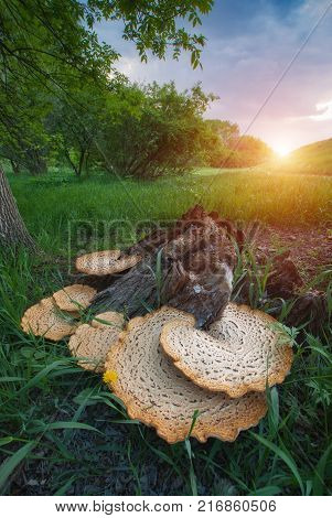 Many mushrooms on a wooden stump in a spring valley.