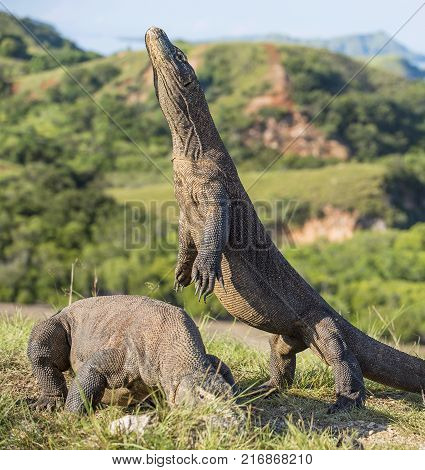Komodo dragon stands on its hind legs and open mouth. The Komodo dragon ( Varanus komodoensis ) is the biggest living lizard in the world. On island Rinca. Indonesia.