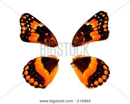 Butterflywing