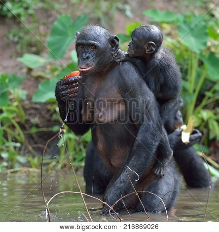 Bonobo standing on her legs in water with a cub on a back. The Bonobo ( Pan paniscus). Democratic Republic of Congo. Africa