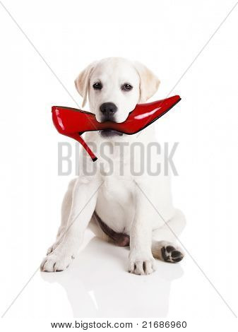 Labrador retriever with a res shoe in his mouth
