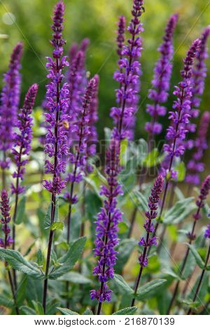 Background or Texture of Salvia nemorosa 'Caradonna' Balkan Clary , in a Country Cottage Garden in a romantic rustic style. poster