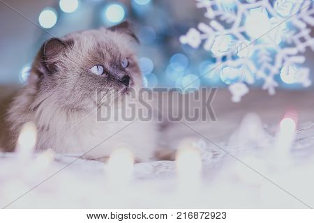 Christmas, New Year holiday calendar cat, cozy blue and white picture. Himalayan Persian color point cat. Can use for background or wallpaper, Christmas critters. Blue point cat look at snow flakes. poster