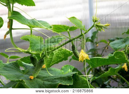 Cucumber plant. Cucumber with leafs and flowers. Cucumbers in the garden