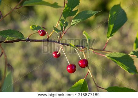 Sour cherry on a tree in the orchard on sunny day