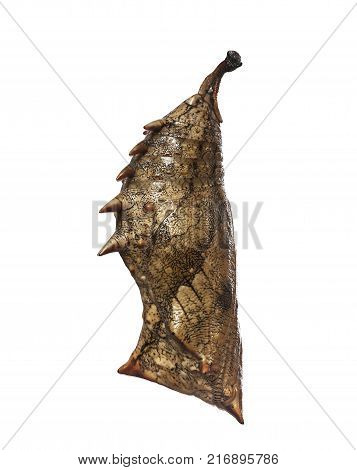 A grey prickly pupa of the forest, or common, mother-of-pearl butterfly, Salamis parhassus, from Africa isolated on white background. Pupae is a stage between caterpillars and butterflies. Side view.