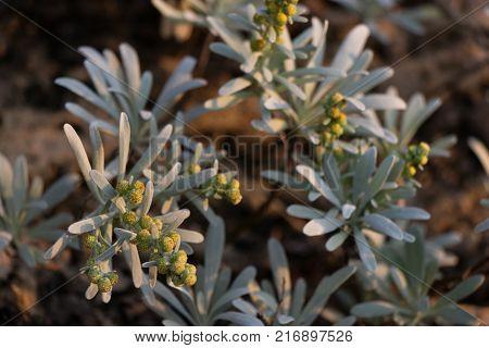 Encelia farinosa grows along the rocky coastline