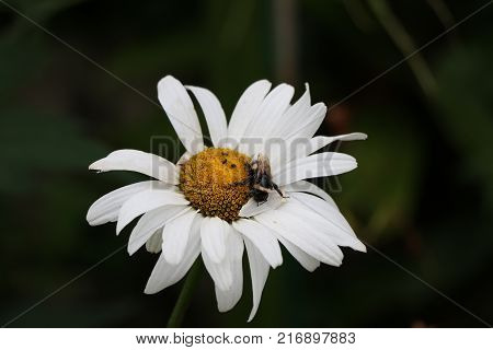 A bee pollinates a daisy and springs new life