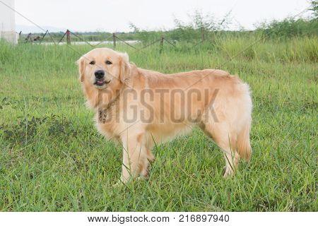 Golden retriever on the green grass outdoor