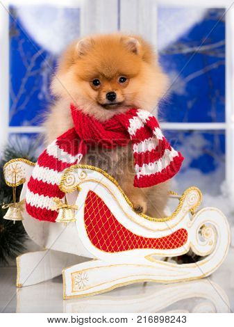 Beautiful pomeranian dog in red santa scarf