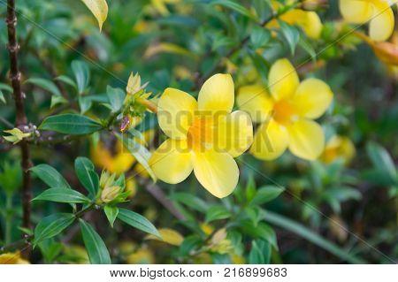 Golden Trumpet Allamanda cathartica. golden trumpet blooming in garden