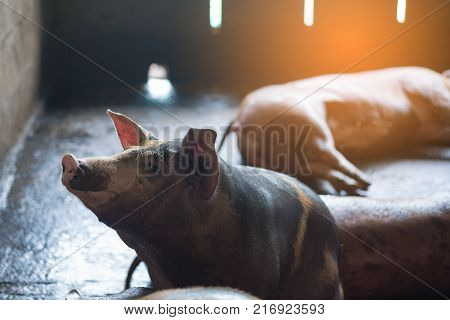 Group Of Pig Sleeping Eating In The Farm.