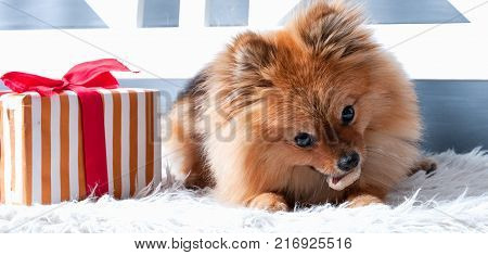 The panorama of pomeranian spitz is laying on the white plaid and eating delicacy. Concept happy holiday and food poster