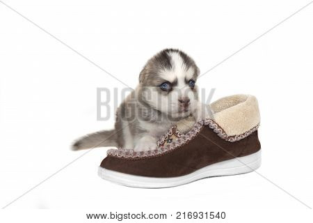 Happy Small Pomsky Puppy In The Basket White Isolated