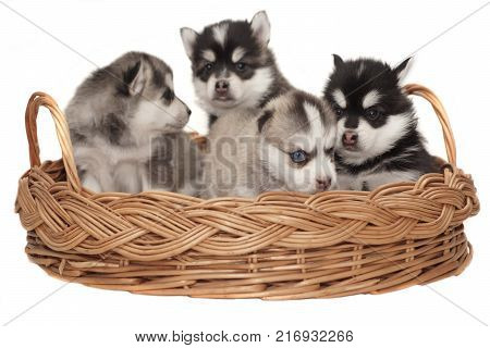 Funny Small Husky Puppy Play With Toy Cube White Isolated