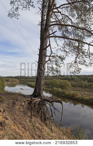 Pine roots cling to the steep coast of the river. Vaga River near the village of Smetanino, Vologda region, Russia