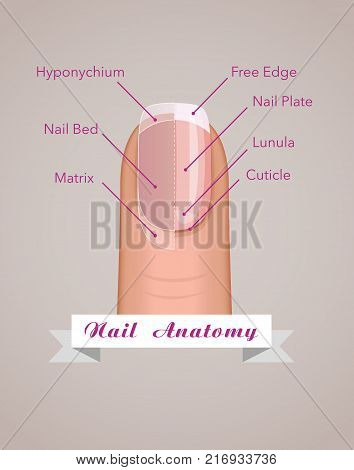 Structure and anatomy of human nail vector concept