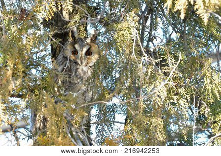 Long Eared Owl on fir tree in winter