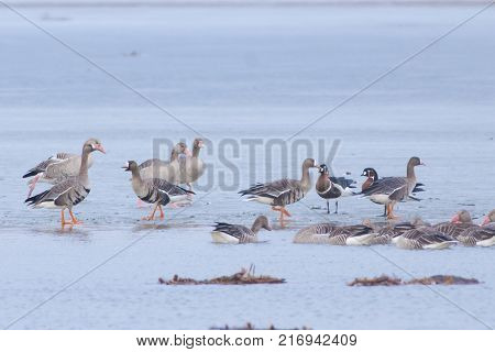 Red Breasted (Branta ruficollis) Greylag (Anser anser) and White-fronted (Anser albifrons) Geese in Winter