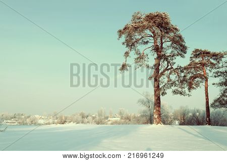 Winter landscape. Frosty high pine winter trees in winter forest and houses on the background. Sunny winter landscape scene,  winter forest nature. Winter landscape in vintage tones