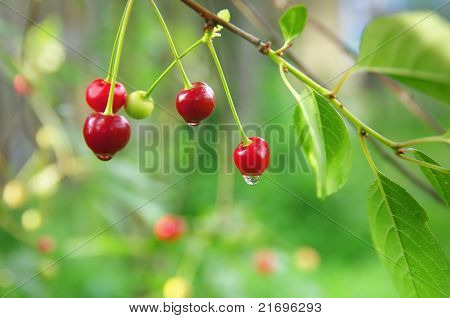 Cherries after the rain