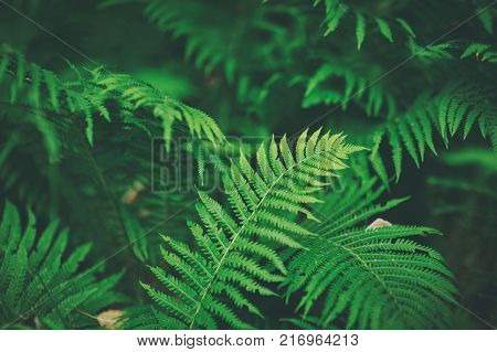 Beautyful ferns leaves green foliage natural floral fern background. selective focus. vintage style.