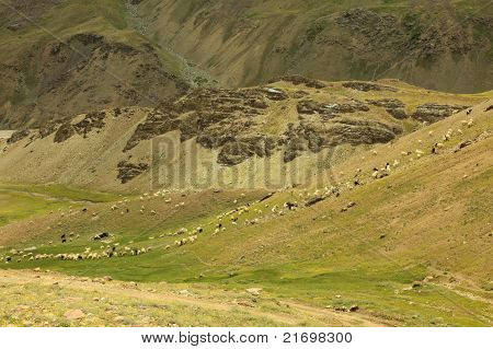 Sheep Grazing in Chandratal Valley
