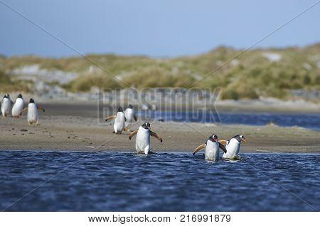 Gentoo Penguins (Pygoscelis papua) crossing a lagoon on Sea Lion Island in the Falkland Islands.