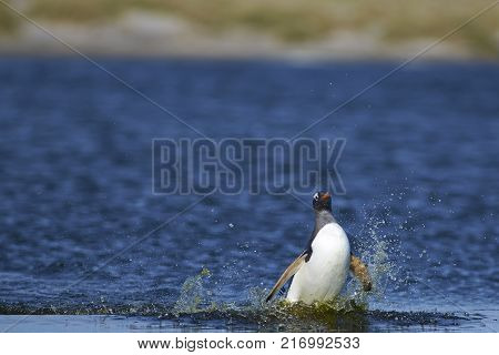 Gentoo Penguin (Pygoscelis papua) crossing a lagoon on Sea Lion Island in the Falkland Islands.