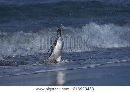 Gentoo Penguin (Pygoscelis papua) coming ashore after feeding at sea on Sea Lion Island in the Falkland Islands.