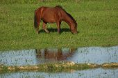 Eating wild horse in the meadows next to a crystal river. Cuba poster
