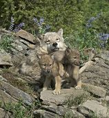 Gray wolf with her cubs at den site in Montana. poster
