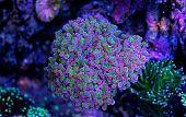 Euphyllia sp. LPS coral in saltwater reef tank poster