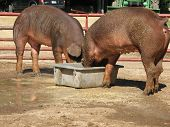 A pair of Duroc Gilts feeding in a hog pen poster